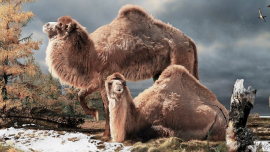 extinct camels the sustainability diet karen pendergrass